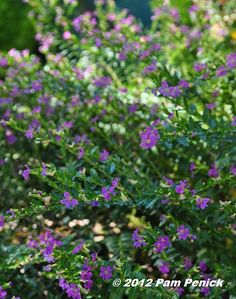Plant This: Mexican heather | Digging