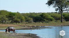 De natuur van het Krugerpark is prachtig. Na het regenseizoen staat alles in bloei en rij je langs lichtgeel wuivend gras, felgroene bomen en rivieren en poelen die vol water staan en waar waterbuffels en nijlpaarden in rondbanjeren. Photo: Krugerpark, South Africa