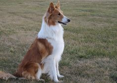 old time scotch collies - AOL Image Search Results