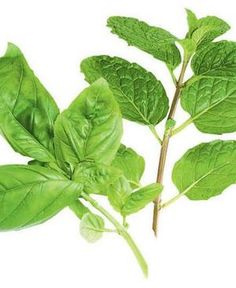 Picture of Holy Basil Leaves and Stems