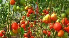 Přírodní hnojivo z mléka , vody, jódu a kyseliny borité prospěšné zejména pro rajčata. Tomato Garden, Growing Vegetables, Gardening, Garden, Agriculture, Plant, Crop Protection, Garten, Bulgur