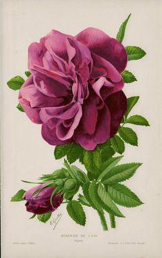 1910 Amazing antique ROSE lithograph, pink roses, original antique botanical print