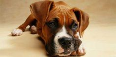Boxer Dog | boxer dog looking at you Boxer Breed Information. Training Advice