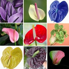 120 pcs Rare Flower Anthurium Seeds Balcony Potted Plant Anthurium Flower Seeds for DIY Home Garden Product Type: Bonsai Brand Name: Other Size: Mini,Small,Medium Cultivating Difficulty Degree: Very Easy Climate: Temperate Bonsai Seeds, Bonsai Plants, Potted Plants, Indoor Plants, Home Garden Plants, House Plants, Rare Flowers, Beautiful Flowers, Flower Seeds