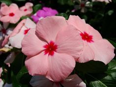 Con Vinca rosea trasladamos el trópico al jardín. ¿No es preciosa? Periwinkle Flowers, Pretty Flowers, Herb Garden, Garden Pots, Tropical, Beautiful Roses, Seeds, Cocktail, Green