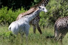 http://www.nbcnews.com/news/world/rare-white-giraffe-spotted-african-national-park-n504836