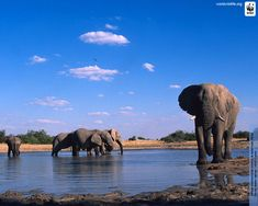 Male African Elephants I will visit them one day!