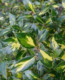 Ilex aquifolium Myrtifolia Aureomaculata