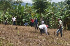 Experimenting with forage hybrids to improve mixed crop-livestock systems in Nicaragua