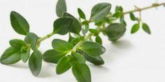 Thymian fördert die Bewegung der Flimmerhärchen