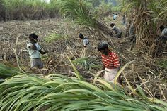 sugercane harvest by Samuel Johnson on 500px