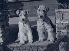 wirehairedfoxterriers - Stepping out.