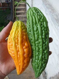 Herbal Medicine Bitter Melon Kills Up To Of Cancer Cells And Stops Diabetes The best way to fight diseases is to look and find a natural way solution. Natural Cancer Cures, Natural Health Remedies, Natural Cures, Diabetes Treatment, Cancer Treatment, Natural Medicine, Herbal Medicine, Health And Nutrition, Health Tips