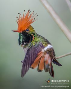 Photo of the Day – The Rufous-crested Coquette (Lophornis delattrei) has a flight that resembles a bee, which can be seen as they feed on low flowering plants around roadsides, the forest edge or in. Most Beautiful Birds, Animals Beautiful, Animals And Pets, Cute Animals, Rare Birds, Exotic Birds, Bird Gif, Bird Wings, All Gods Creatures