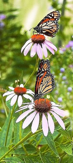.great photo of echinacea (sp) with butterflies (monarch?)