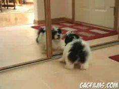 VIDEO: A cute Havanese puppy named Rambo sees himself in a mirror and thinks…
