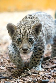 Baby Jaguar Stalking  Found on deviantart.com