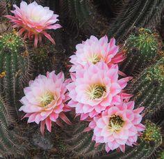 cactus blooms arizona desert museum