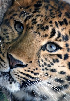 Just a mix.of me Just a mix. Big Cats, Cats And Kittens, Cute Cats, Nature Animals, Animals And Pets, Animals In The Wild, Beautiful Cats, Animals Beautiful, Majestic Animals
