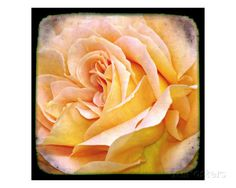 Orange Rose Photographic Print by Francisco Valente at AllPosters.com