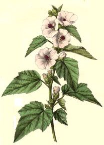 Marshmallow flowers- For digestive system, sore throats, bladder infection and coughs. Psychic abilities and of course, love spells <3
