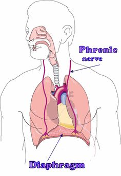 Peripheral Nervous System: Spinal Nerves and Plexuses Spinal Nerve, Vagus Nerve, Cns System, Nursing School Tips, Ob Nursing, Nursing Schools, Spinal Cord Anatomy, Upper Limb Anatomy, Nerve Anatomy