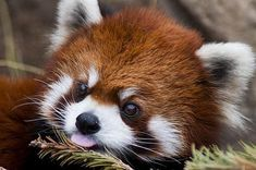 25 Things You Didn& Know About Red Pandas About two-thirds of their food intake is composed of bamboo Cute Creatures, Beautiful Creatures, Animals Beautiful, Cute Little Animals, Cute Funny Animals, Red Panda Cute, Panda Mignon, Niedlicher Panda, Tier Fotos
