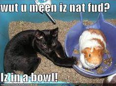Image result for funny guinea pig