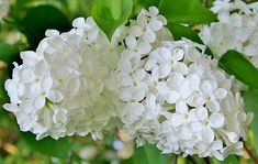 Want the most fragrant plant on earth in your garden? Learn about planting lilac bushes and how to grow them, including how to prune lilacs, and lilac care! Garden Seeds, Garden Plants, Potted Plants, Wisteria How To Grow, Lilac Varieties, Japanese Plants, Japanese Gardens, Propagate Succulents From Leaves, English Garden Design