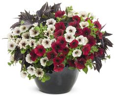 'Red Velvet Cake' is a new container combination that puts Supertunia Black Cherry to work! Great color and contrast for a sunny spot.  http://emfl.us/TDKd