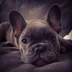 Kirby, the Blue French Bulldog Puppy