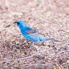 Blue Birds of Arizona Desert - Bing images