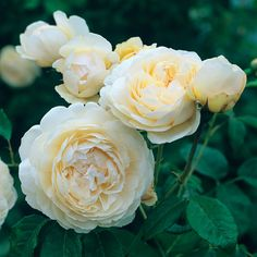 Windermere English Rose - bred by David Austin, Shrub Rose | The blooms start as perfectly rounded buds, opening to full, cupped flowers that are rich cream at first, fading to almost pure white in the sun.