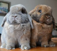 Chubby pair of lop bunnies.