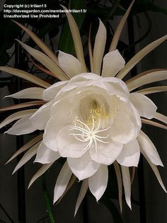 "Dutchman's Pipe Cactus, Night blooming Cereus.   As a child my grandmother grew these. It was ""an event"" to stay up late to watch the bloom open for only one nite.   Simple pleasures in a simpler time."
