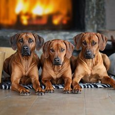 Ridgebacks Lion Dog, Dog Cat, I Love Dogs, Cute Dogs, Rhodesian Ridgeback Puppies, Group Of Dogs, Cute Dog Pictures, Funny Dog Memes, Large Dog Breeds