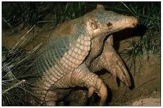 Tatu-canastra (Priodontes maximus), também conhecido como Tatuaçu, é uma espécie de tatu de grandes dimensões, encontrado na maior parte da América do Sul. Tais tatus chegam a medir até 1 m de comprimento, corpo coberto por poucos pêlos e patas anteriores dotadas de garras enormes, que auxiliam na escavação de buracos.