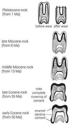 Tall molars did not evolve from grass eating - creation.com