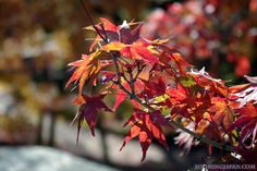 Autumn leaves in #Okayama (November 2012).