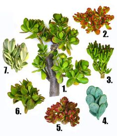 Different types of Jade plant