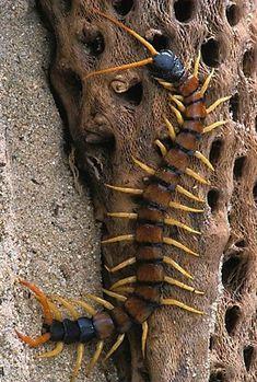 ˚Giant Desert Centipede - ID: 35859 © Robert Jensen