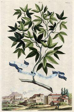 Antique 1696 Botanical Print by Abraham by VintageDecorPrints
