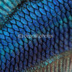 gros plan sur une peau de poisson - poisson de fighting siamois bleu — Image #10877423