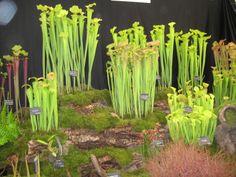 carnivorous plants   Carnivorous Plants