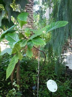 キナノキ @Kew Gardens