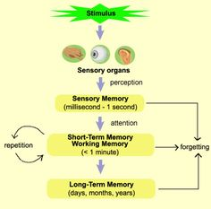 This diagram shows the process of memory, and the times each part of the memory is able to remeber the certain pieces of information from the time the stimulus is recieved to the time you either remeber it or forget it.