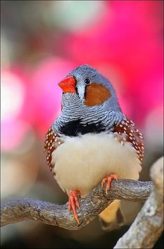 Zebra Finch. photos by evey eyes2 by MaddyCow on Flickr