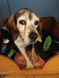 We are saddened by the passing of a beloved ARF resident. Henry was a senior beagle who had been found as a stray when he arrived at  ARF & the staff decided that Henry should spend these last precious months in Catty Shack where he could receive much needed & deserved attention. Today, his frail body gave out. He is now over the Rainbow Bridge, running and playing like a puppy.