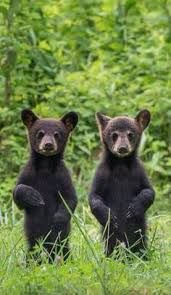 two standing bear cubs