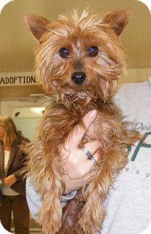Doylestown, PA - Silky Terrier. Meet Mr. Bonz * COURTESY POST, a dog for adoption. http://www.adoptapet.com/pet/12859051-doylestown-pennsylvania-silky-terrier